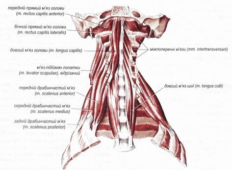Поверхностные мышцы шеи | 347x473