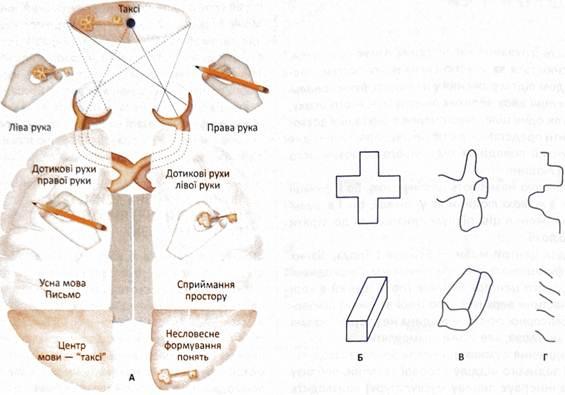 Картинки по запросу латерализация мозга